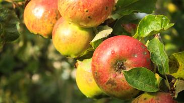 Post thumb apples